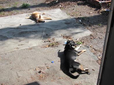 Sunbathing doggies!