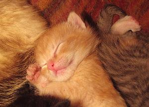 ۳۰۰px-Sleeping_baby_cat