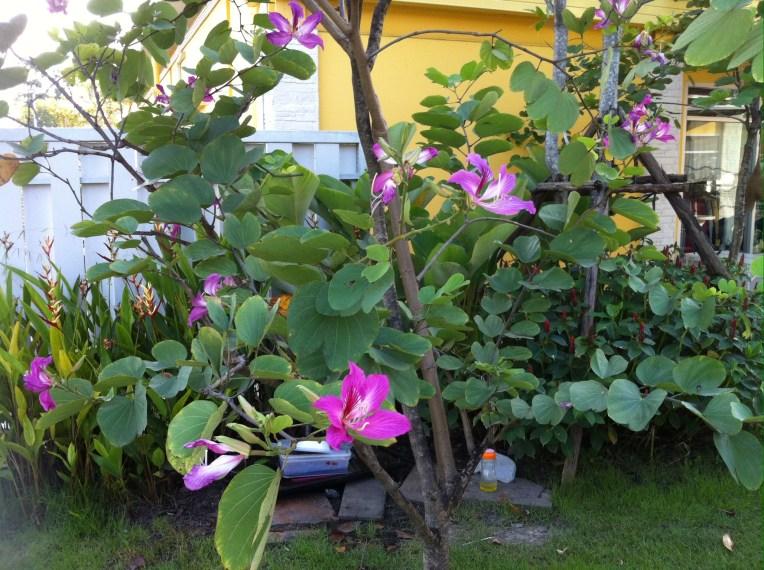 Hong Kong Orchid Tree/ アカバナハカマノキ