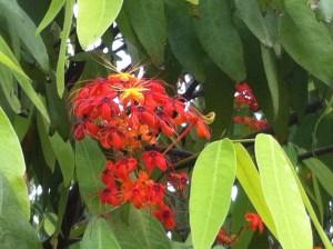 Ashoka tree/ ムユウジュ