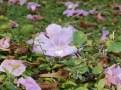 散って地面に落ちたモモイロノウゼンの花