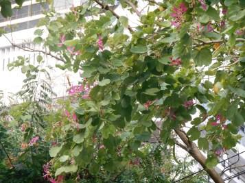 アカバナハカマノキ 少しまばらな花