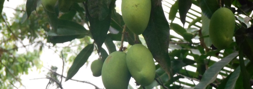 mango/マンゴー