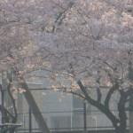 ソメイヨシノ朝霞の桜