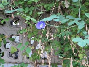 壁にそう花 バタフライピー