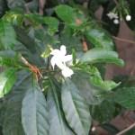 サンユウカ 花と葉と