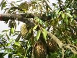 Durian/ ドリアン
