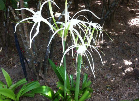 Spider lily スパイダーリリー