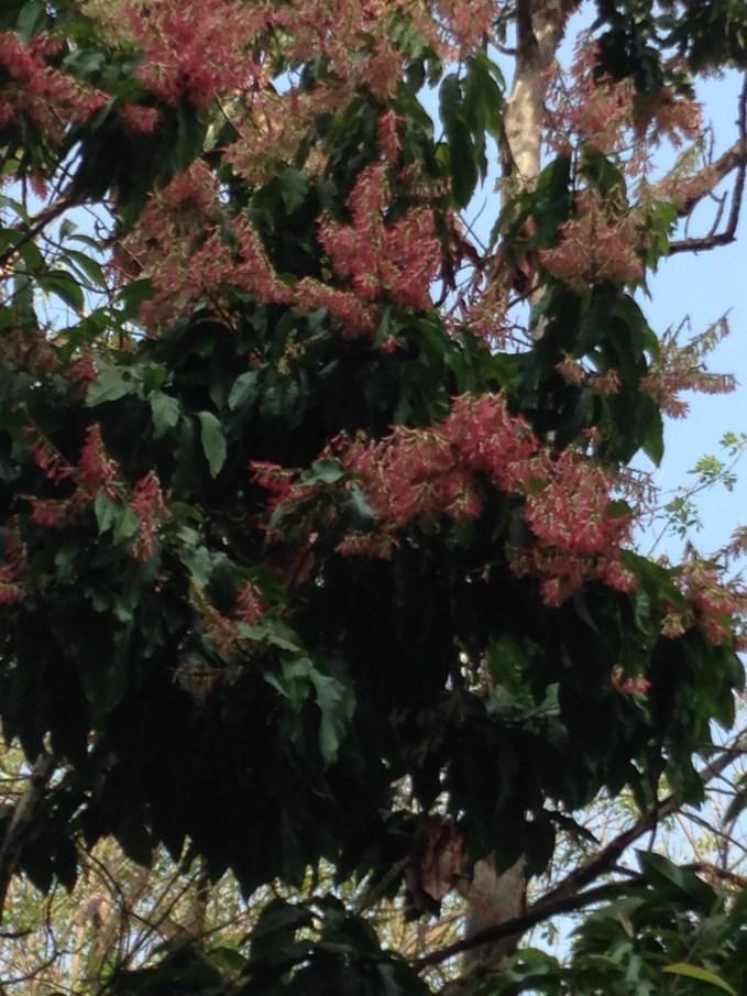 アリノキ 花の様子