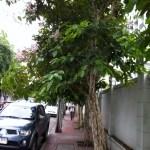 オオバナサルスベリ タイの歩道と街路樹