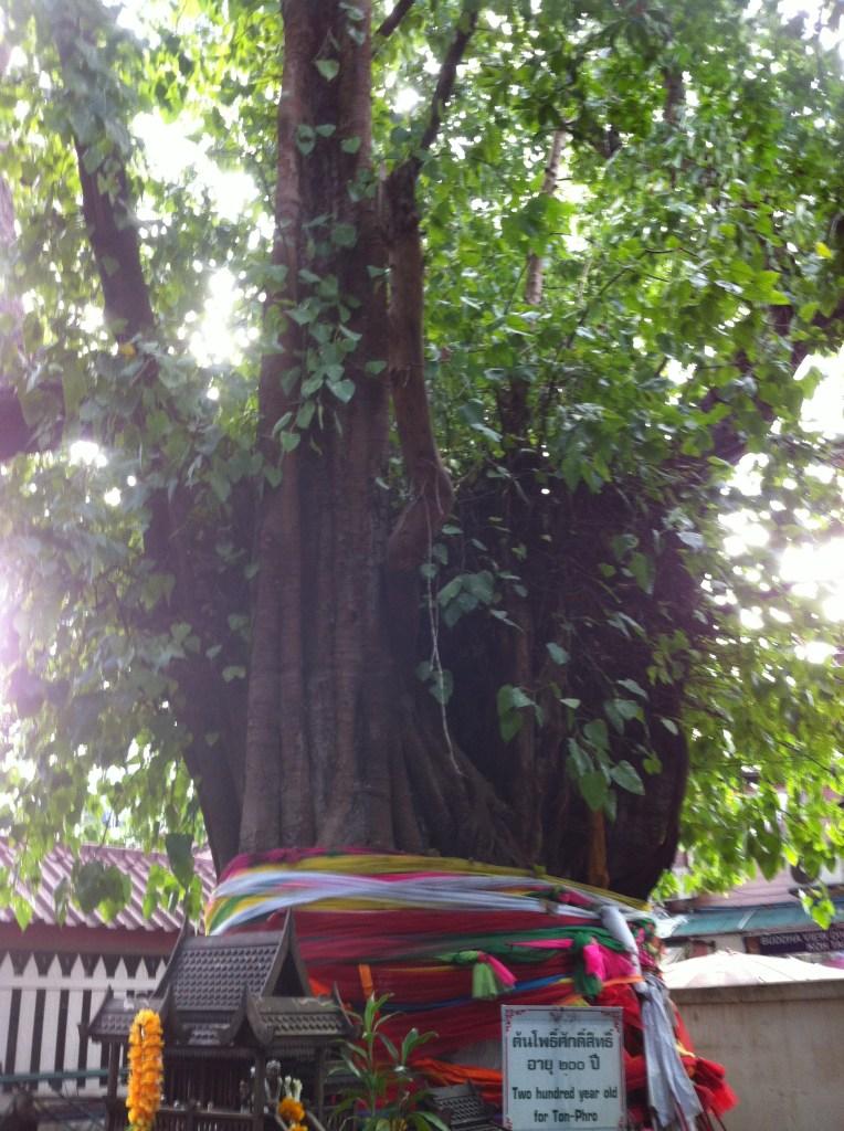 Bo tree/ ボダイジュ