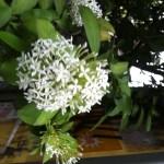 サンタンカ 白花系