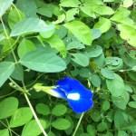 鮮やかな青色の花 バタフライピー