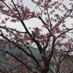 カワヅサクラ 木の全景