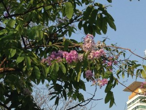 オオバナサルスベリ 晴天に映える紫の花