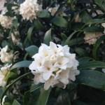 ジンチョウゲ白花