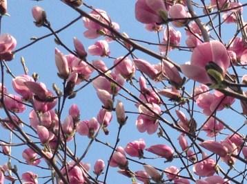 モクレン 開花を待つ蕾