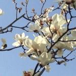 ハクモクレン 散り始めの花