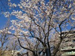 Ito sakura/ イトウサクラ