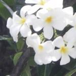 Plumeria / プルメリア