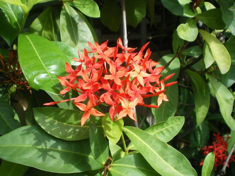 Ixora spp. サンタンカ