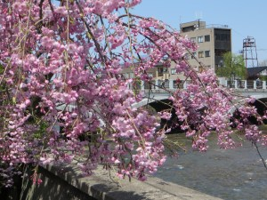 浅野川としだれ桜