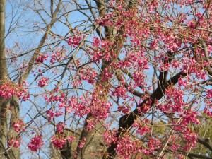 ヒカンザクラ 遠目に見た木の姿