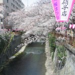 ボンボリと花と川 ソメイヨシノ
