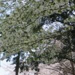 オオシマサクラ 散り始めの桜