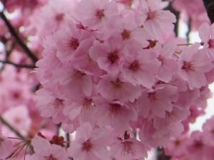 ヨウコウサクラ きれいなピンクの花
