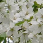 オオシマサクラ 花のアップ
