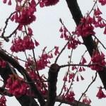 ヒカンザクラ 花の姿