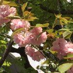 葉とともに咲くカンザン(ヤエザクラ)