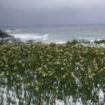 冬の越前海岸のスイセン