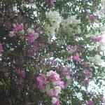 白と紫の花 ブーゲンビリア