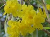 コガネノウゼン やや薄い黄色の花