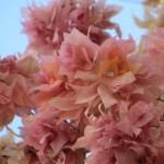 ピンク色の花のアップ ブーゲンビリア