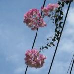 薄いピンクの花 ブーゲンビリア