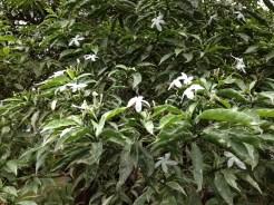 Spanish jasmine/ オオバナソケイ