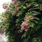シクンシ 塀に絡まる花と葉