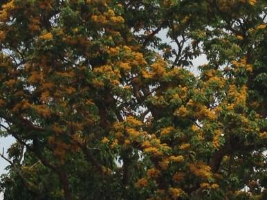 コウエンボク 見事な花の姿