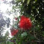 サンタンカ? 赤色系の花(Ixora系?)