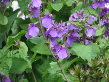 オオアラセイトウ/ Violet orychophragmus