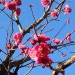 ウメ Japanese apricot