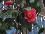 Japanese camellia/ ツバキ