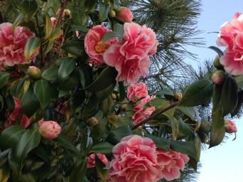 ツバキ ピンクと白の花