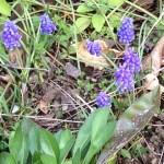 ムスカリ/ Grape Hyacinth