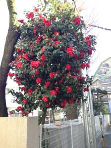 ツバキ 満開の花