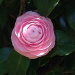ツバキ薄ピンクの花のアップ