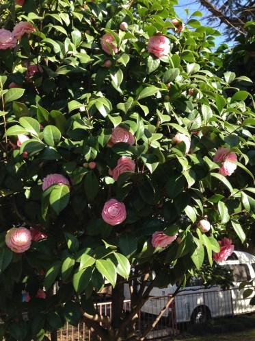 ツバキ 薄ピンクの花全景